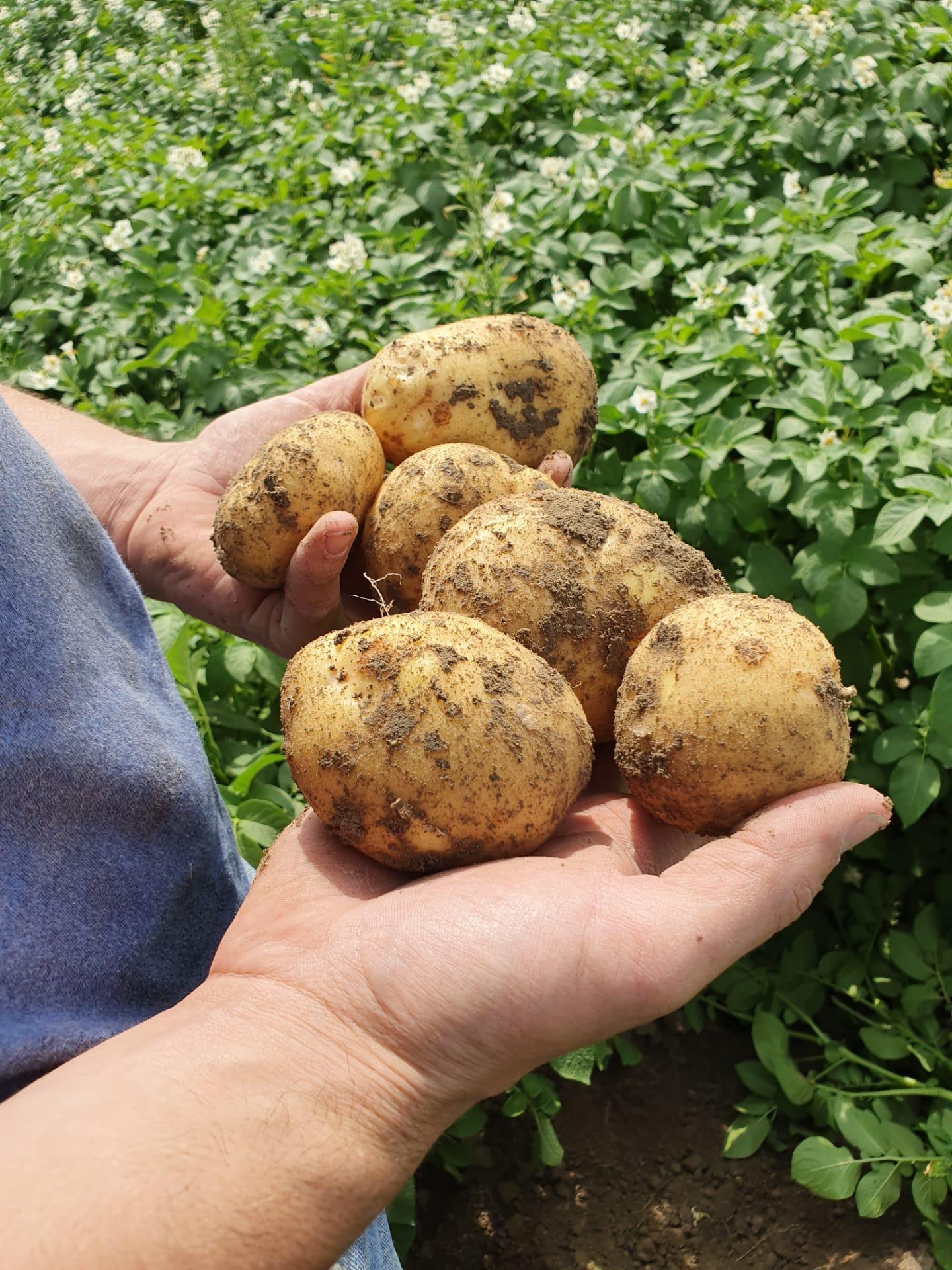 Welvaert aardappelen